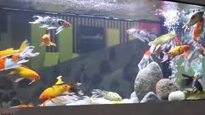 Kinh nghiệm nuôi cá koi bể kính cho người mới.